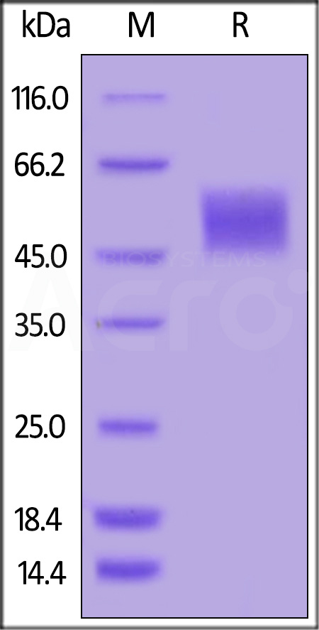 Biotinylated Human uPAR, His,Avitag (Cat. No. UPR-H82E7) SDS-PAGE gel