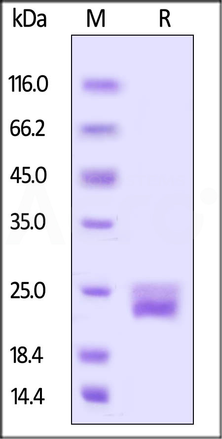 Biotinylated Mouse VEGF120, His Tag (Cat. No. VE0-M82Q2) SDS-PAGE gel