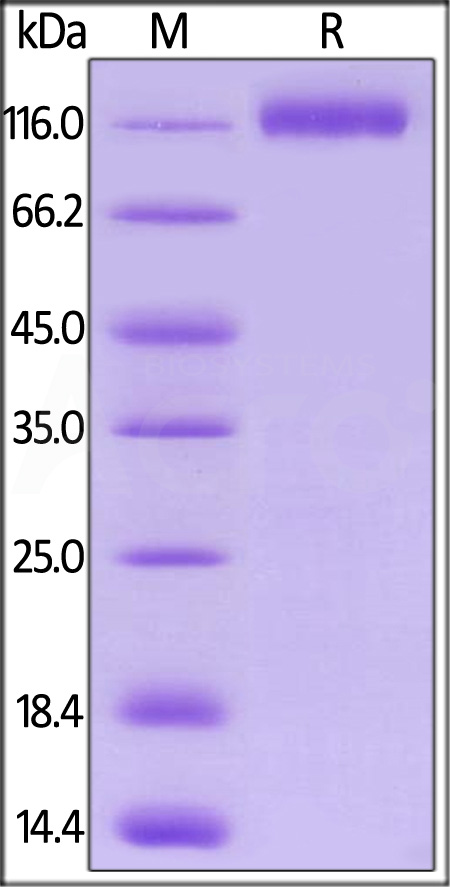 Biotinylated Human VEGF R1, His,Avitag (Cat. No. VE1-H82E3) SDS-PAGE gel
