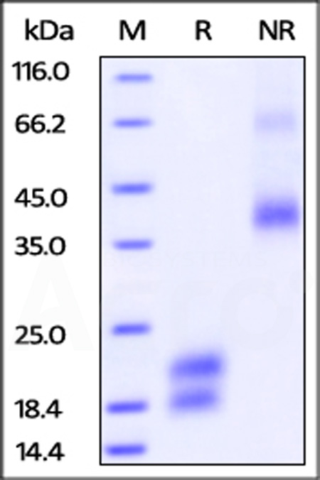 Biotinylated Human VEGF121, His Tag (Cat. No. VE1-H82E7) SDS-PAGE gel