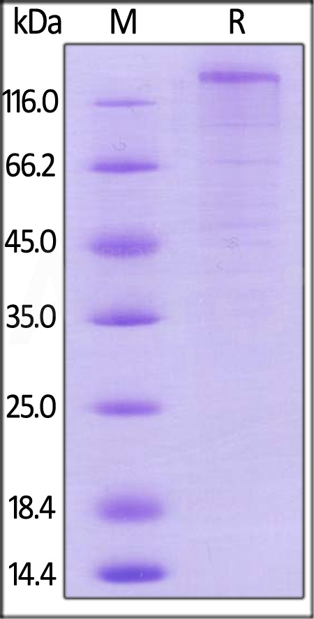 Mouse VEGF R1, Mouse IgG2a Fc Tag, low endotoxin (Cat. No. VE1-M5256) SDS-PAGE gel