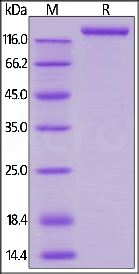 Rhesus macaque VEGF R1, Mouse IgG2a Fc Tag, low endotoxin (Cat. No. VE1-R5257) SDS-PAGE gel