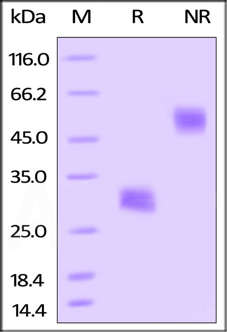 Biotinylated Mouse VEGF164, His Tag (Cat. No. VE4-M82Q3) SDS-PAGE gel