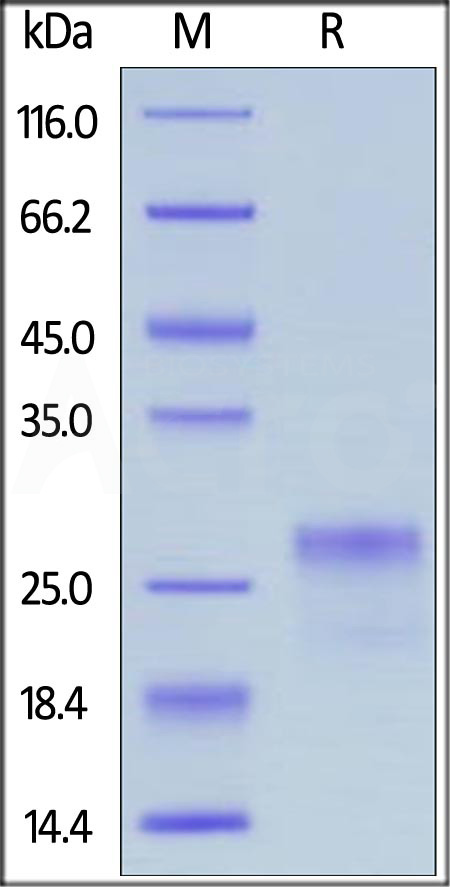 Human VEGF165 Protein, His Tag (Cat. No. VE5-H5248) SDS-PAGE gel