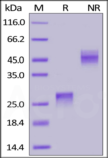 Biotinylated Human VEGF165, His Tag (Cat. No. VE5-H82Q0) SDS-PAGE gel