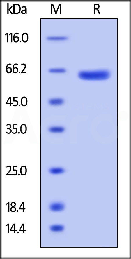 Biotinylated Human VSIG8, Fc Tag (Cat. No. VS8-H82F2) SDS-PAGE gel